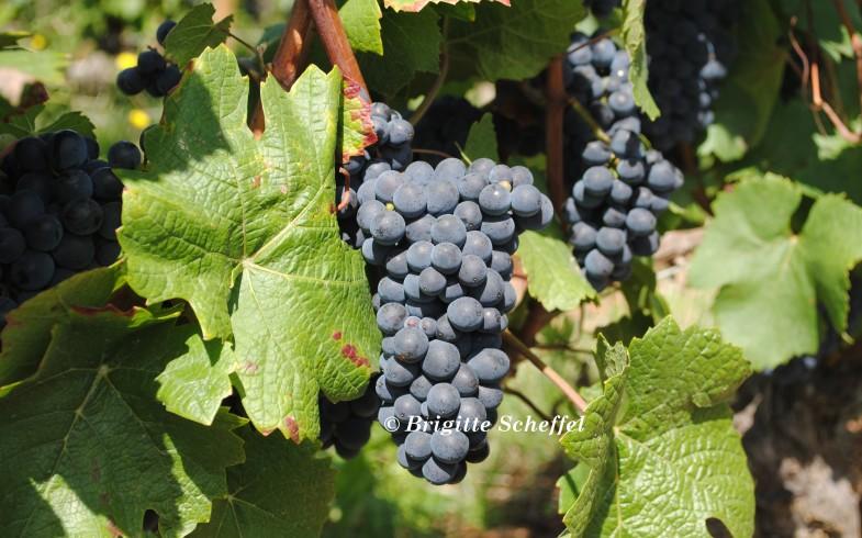 Kleine Weinkunde Burgunder Weine